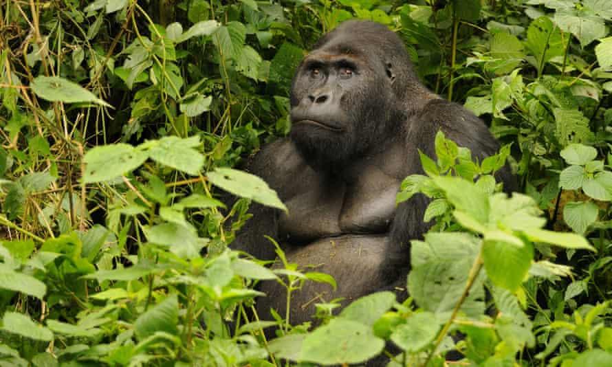 An eastern gorilla in Kahuzi-Biéga national park, Democratic Republic of Congo.