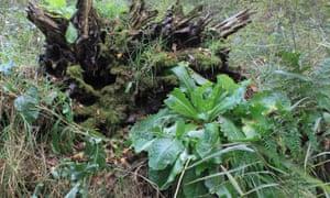 Wild lettuce at Woodwalton Fen, Cambridgeshire.