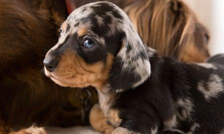A dachshund puppy.