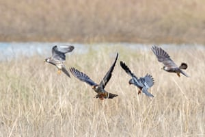 Amur falcons landing.