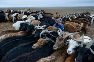 Mongolian nomads milking goats on the Gobi desert.