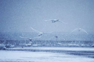 Swan lake. Swans play on Yinghua Lake in Rongcheng, east China's Shandong province