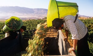 Harvesting grapes from a vineyard in Lebanon.