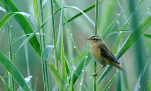 The aquatic warbler faces a high risk of extinction as its populations have plummeted worldwide.