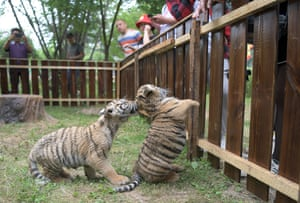 Hailin, China. Visitors watch playful Siberian tiger cubs at a tiger park on International Tiger Day