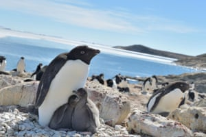 Adelie penguins, the most common species of penguin in Antarctica