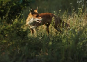 A fox stands in grass in the ghost town of Pripyat, Ukraine, not far from the Chernobyl nuclear power.