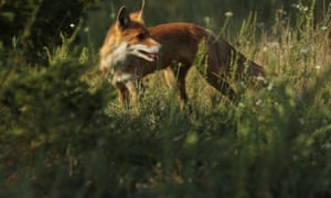 A fox pictured inside the Chernobyl disaster zone, in August 2017