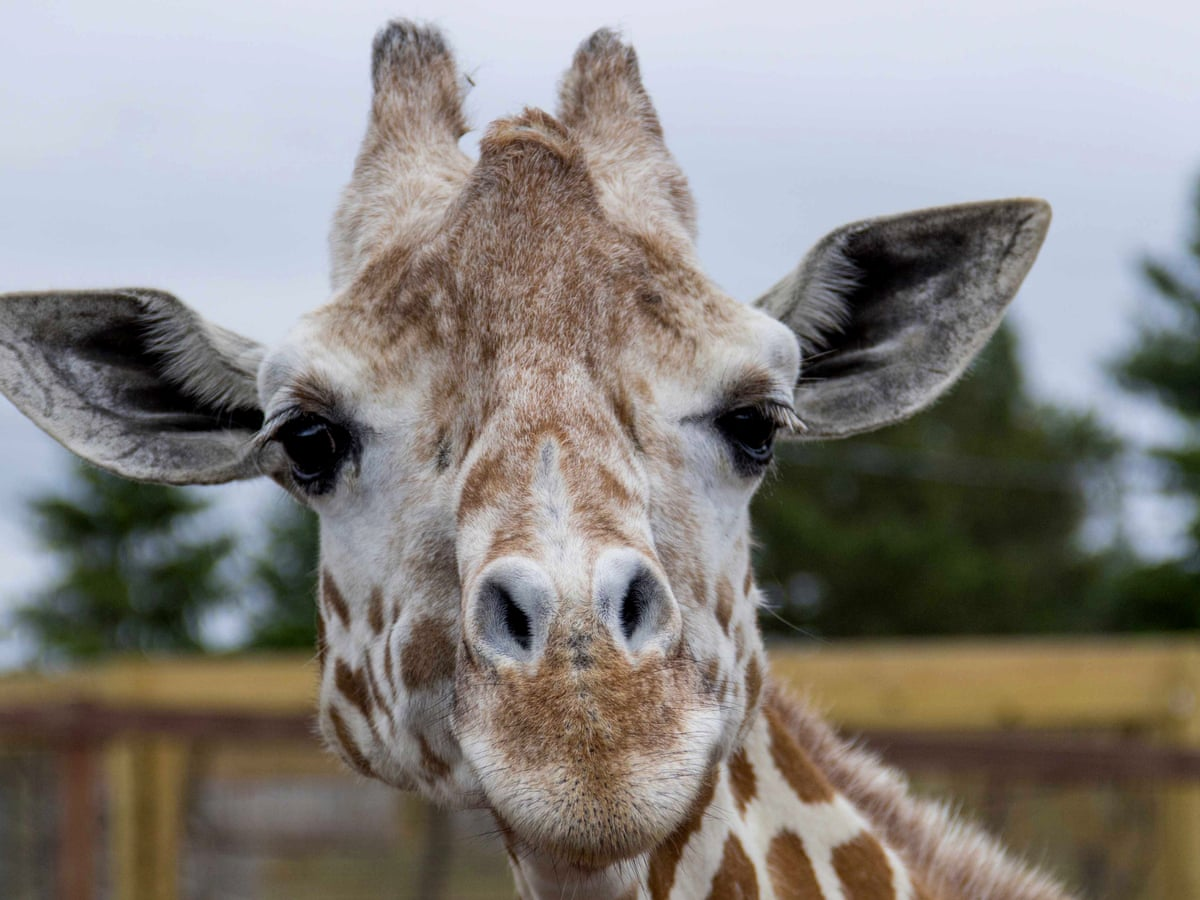 April The Giraffe Who Gave Birth In A Viral Livestream Dies Aged 20 New York The Guardian