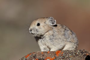 Pika, an endangered relative of the rabbit, are also vulnerable to the virus.