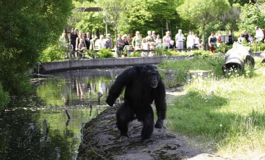 Santino the stone-throwing chimp, is watched by a group of visitors at Furuvik Zoo in Sweden.