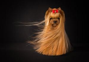 Judges' mention, Portrait: Yorkshire terrier Amy