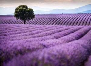 Lavender fields in full bloom in Brihuega, Spain. Brihuega, known as 'El Jardin de la Alcarria', was the Spanish pioneer in lavender cultivation 30 years ago