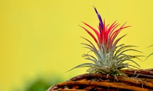 Something in the air: Tillandsia plants have specialised hair-like structures on their leaves that act like sponges.
