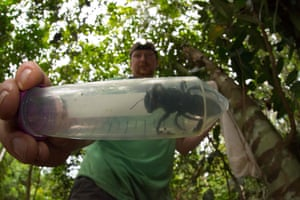 Bee expert Eli Wyman with the first rediscovered individual of Wallace's giant bee, the world's largest bee - roughly the size of a human thumb, in the Indonesian islands of the North Moluccas