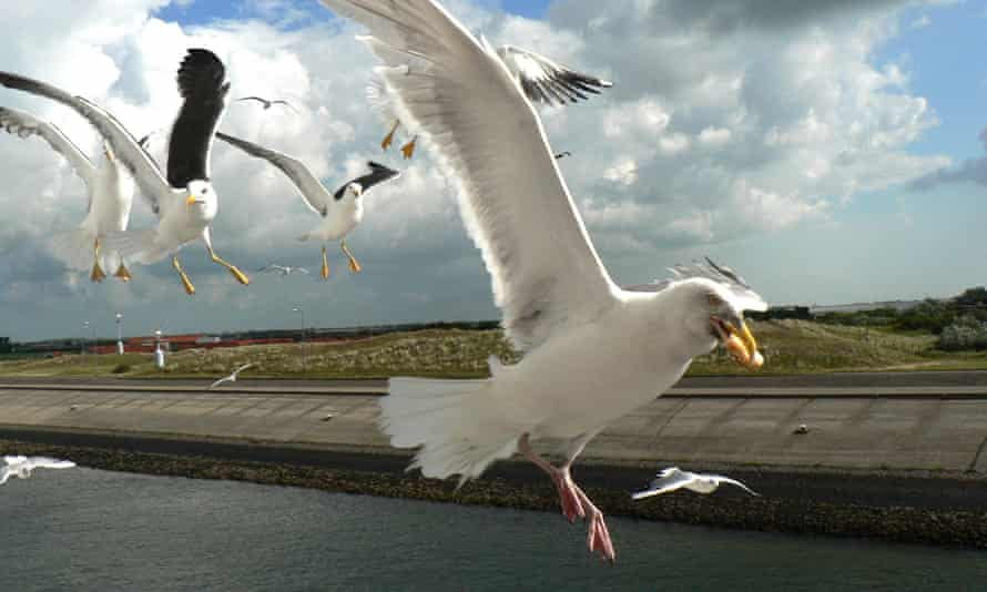 Seagulls on the scrounge