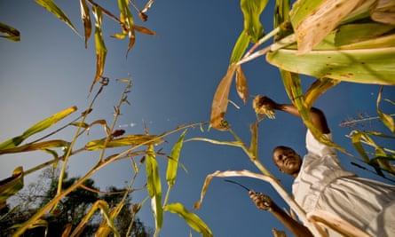 Harvest in Uganda