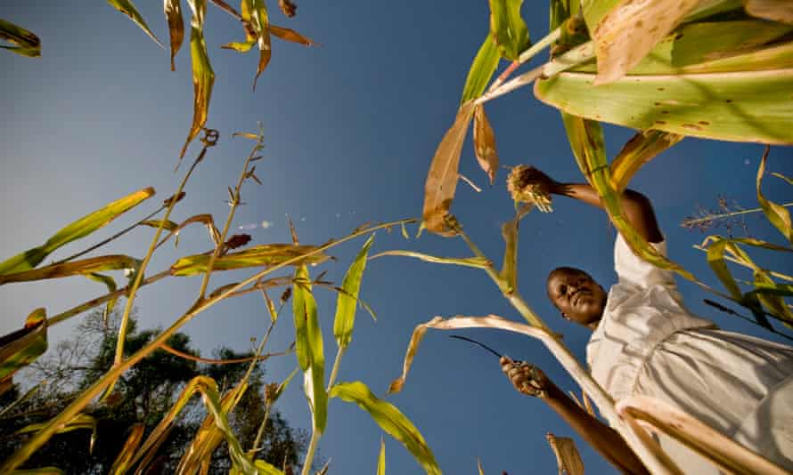 Woman harvests sorghum from a field in Uganda