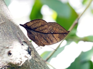 A dead leaf butterfly, Kallima inachu formosana, also called the orange oakleaf, rests on a tree trunk at Taipei Zoo in Tawian
