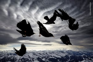 High on the Alpstein massif of the Swiss Alps, yellow-billed choughs, blasted by the wind, in their element