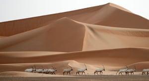 Arabian oryx at a sanctuary in Um al-Zamool, near the United Arab Emirates' border with Saudi Arabia
