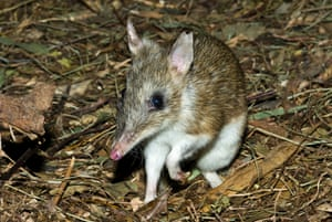 The endangered eastern barred bandicoot is unlikely to be found at Old Melbourne gaol.