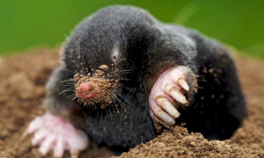 'Not like The Wind in the Willows'... a mole above ground.