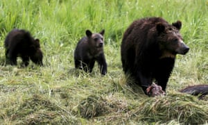 A judge has delayed hunts of previously protected grizzly bears living in and around Yellowstone National Park.