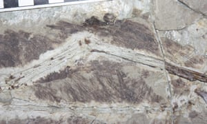 Fossil feathers on the arm of the dinosaur Anchiornis