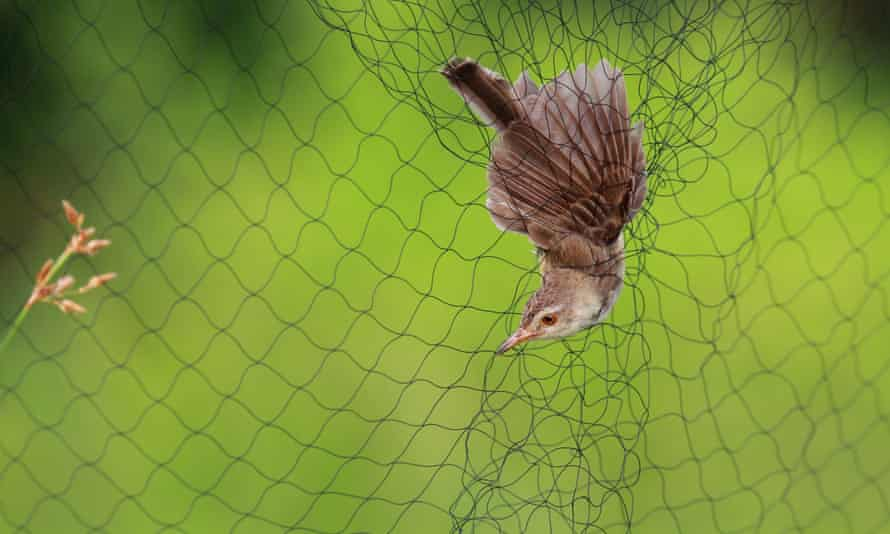 A library image of a bird caught in a net.