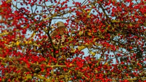 A fieldfare in a tree ladened with red berries, Burley-in-Wharfedale, West Yorkshire, UK