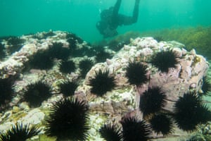 Giant kelp forests in Tasmania have declined due to underwater heatwaves and the increased range of sea urchins.