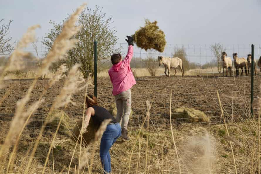 Animal activists feed the horses, deer and cattle by throwing hay over the fences of the Oostvaardersplassen nature reserve.