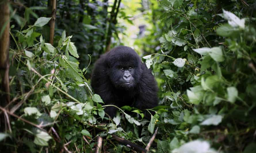 A young mountain gorilla in the Virunga national park