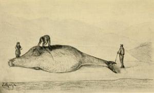 Georg Wilhelm Steller on his female sea cow