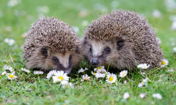 Loss of EU protections could imperil UK hedgehogs, report says