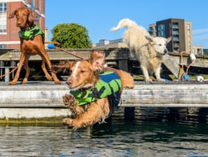 Sterling, a Hungarian Vizsla, Joey, a Spaniel and Finn, a Golden Retriever, participate in the UK's first ever dog swimming gala at West Reservoir, London