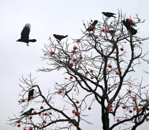 Crows feast on persimmon fruits in Ulsan, South Korea.
