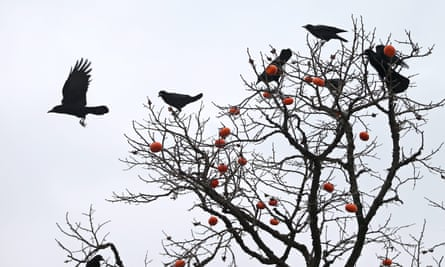 'When a crow sees Wohlleben watching, it pretends to bury the acorn it is carrying, and takes the treasure elsewhere.'