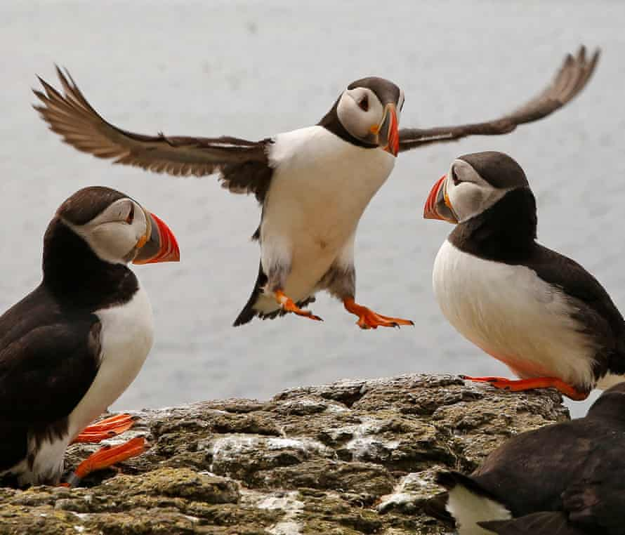 Puffins can live for more than 40 years
