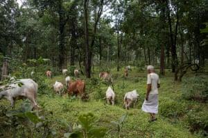 Mathura Prasad leads his cattle through the Hasdeo Arand forest in Chhattisgarh