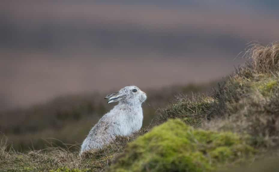 A mountain hare's winter coat stands out against the moorland in the Peak District in spring