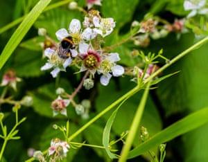 Buff-tailed bumblebee on a blackberry bramble, UK
