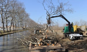 Workers in 2012 removing plane trees in Villeneuve-les-Beziers along the Canal du Midi.