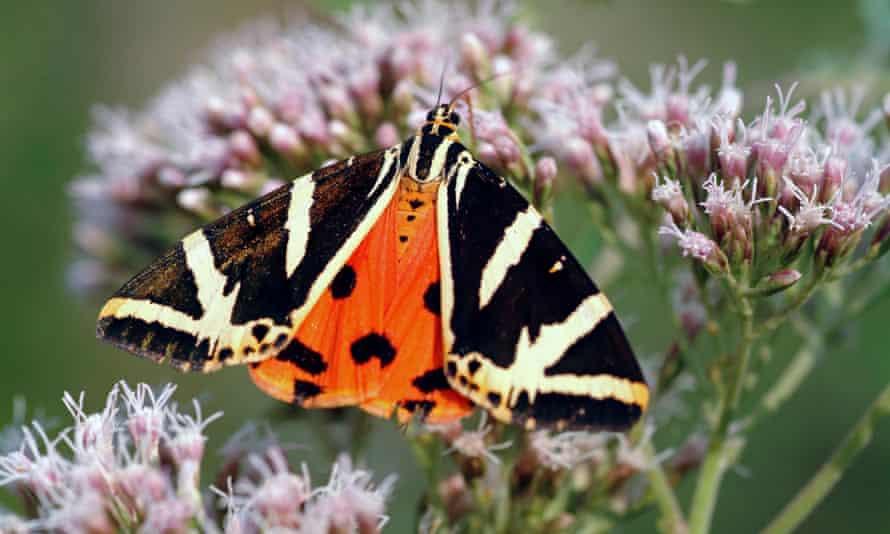 The Jersey tiger moth on flowering bonesets.