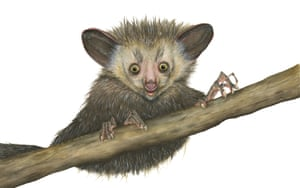 Aye-aye illustration