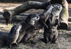 Asian small-clawed otters at Dresden zoo, Germany