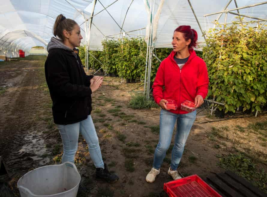 Raspberry pickers from Romania and Bulgaria pick the farm's produce until nearly November