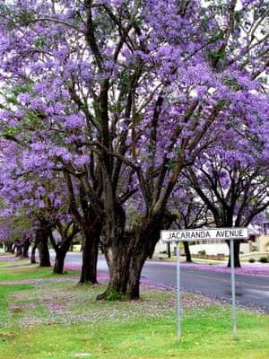 Purple blooms on Jacaranda Avenue in Grafton