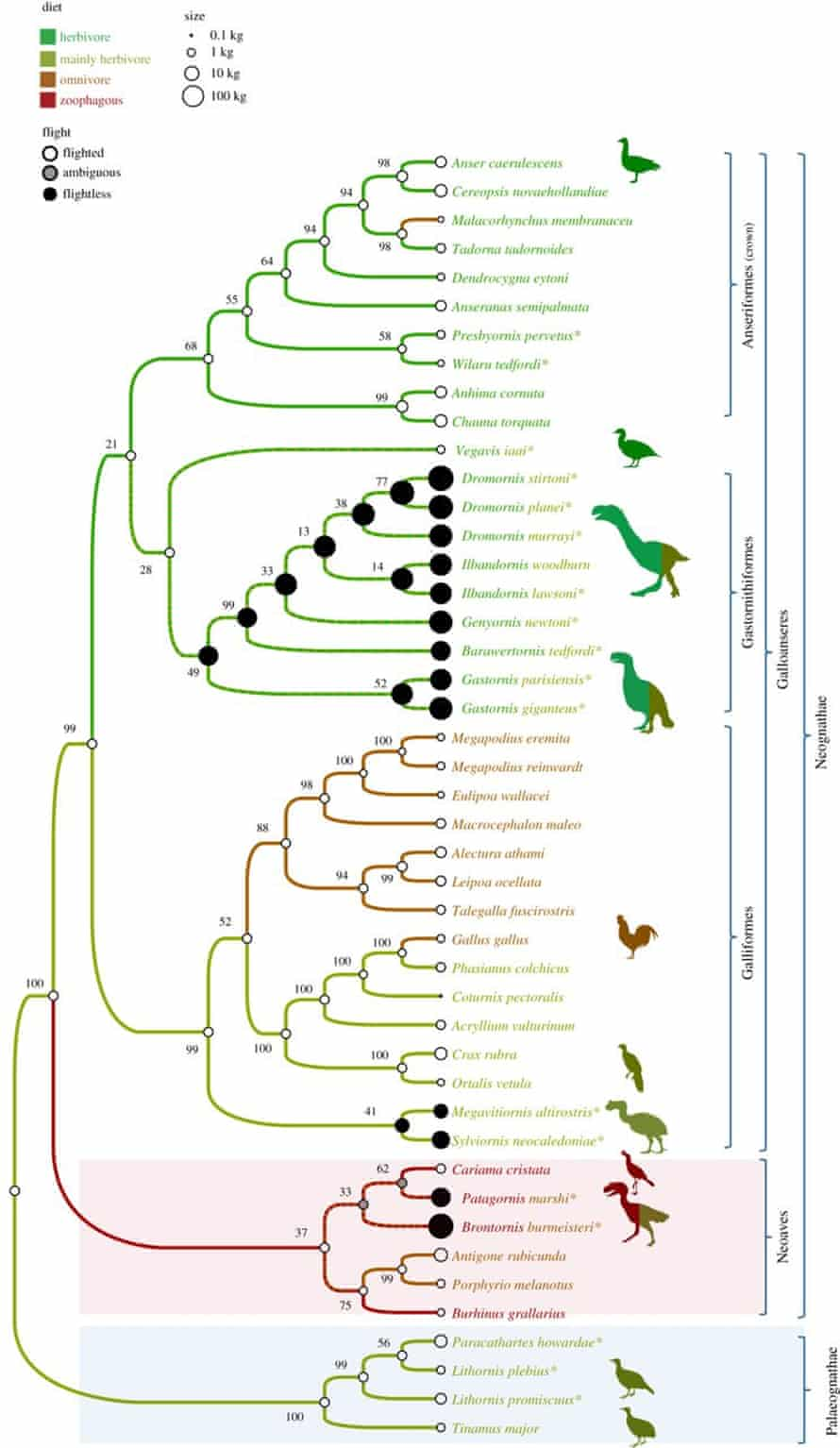 The most parsimonous tree of the relationships between extinct and living Galloanserae retrieved by Worthy et al.'s analyses. Body size is shown by circle size, flight ability by circle shading and diet is indicated by branch colour